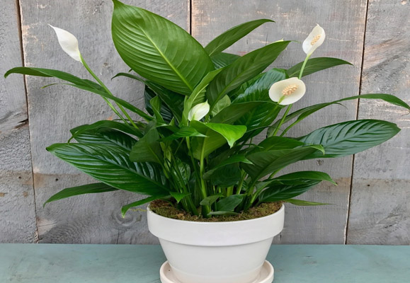 Tumbuhan Indor Peace Lily