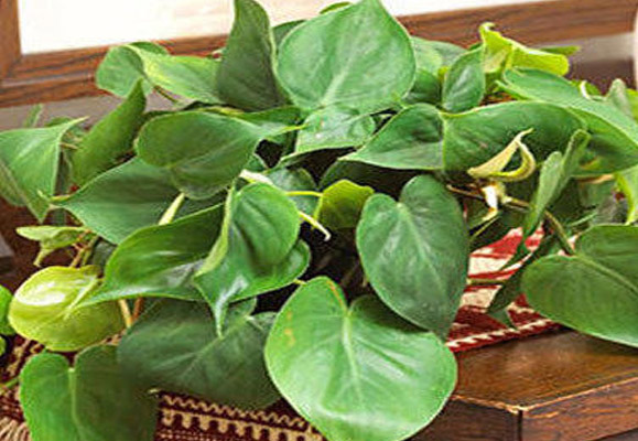 Tumbuhan Indor Philodendron