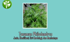Tumbuhan Philodendron