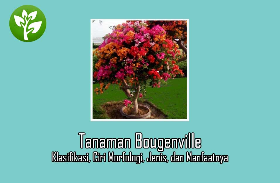 Tanaman Bougenville